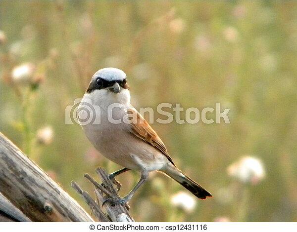 mały, ptak - csp12431116