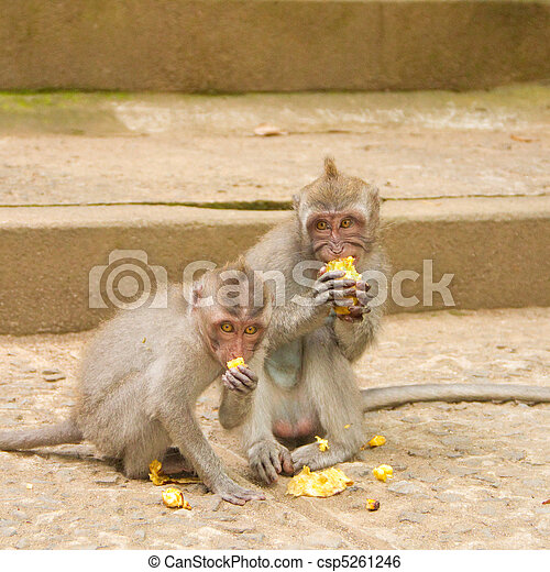 Macaque monkey portrait eating - csp5261246