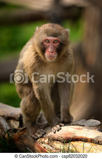 Macaque on the brunch - csp82032020