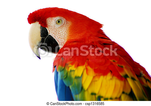 macaw, 鳥, 赤 - csp1316585