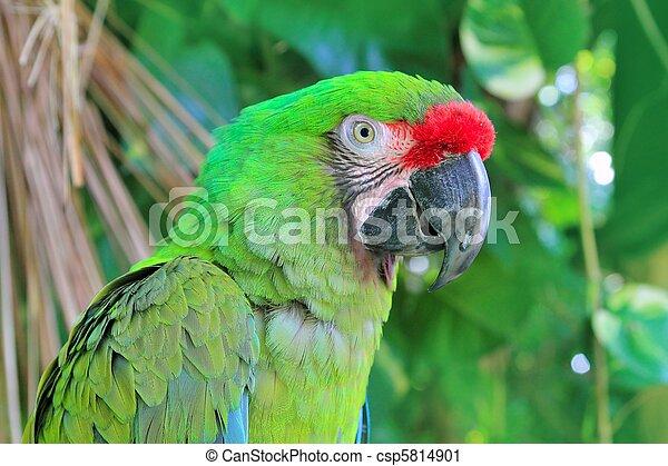macaw, papegøje, ara., grønne, militaris, militær - csp5814901