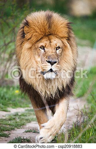 macestic lion walking