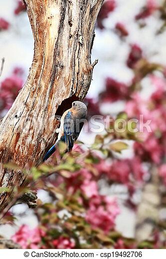 Bluebird oriental masculino - csp19492706