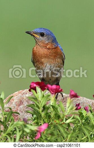 Bluebird oriental masculino - csp21061101