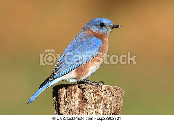Bluebird oriental masculino - csp22982701
