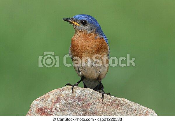 Bluebird oriental masculino - csp21228538