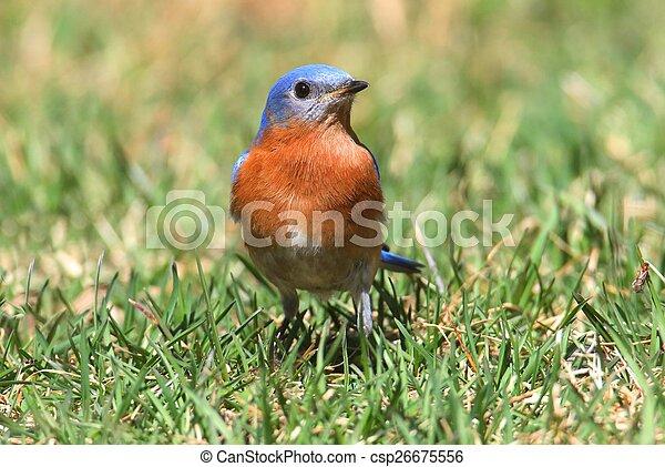 Bluebird oriental masculino - csp26675556