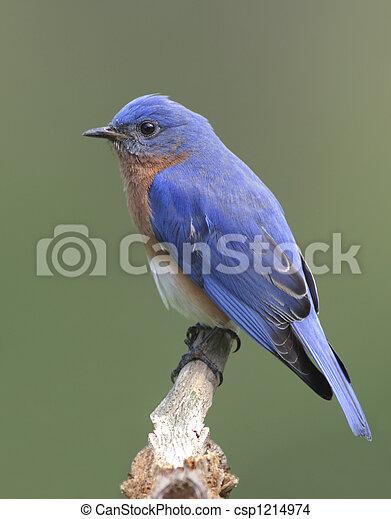 Un pájaro azul del este - csp1214974
