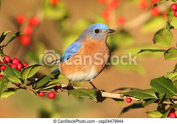 Bluebird oriental masculino - csp24479944