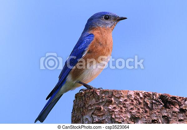 Bluebird oriental masculino - csp3523064