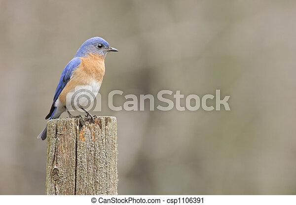 Un pájaro azul del este - csp1106391