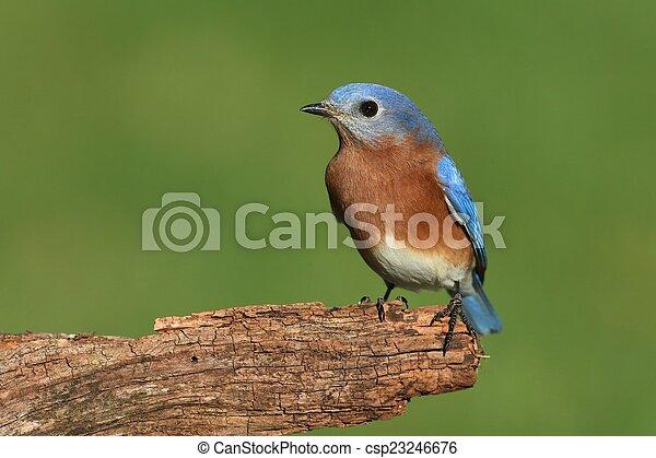Bluebird oriental masculino - csp23246676
