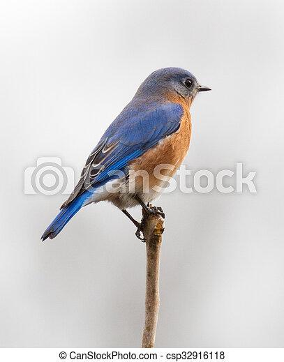 Bluebird oriental masculino - csp32916118