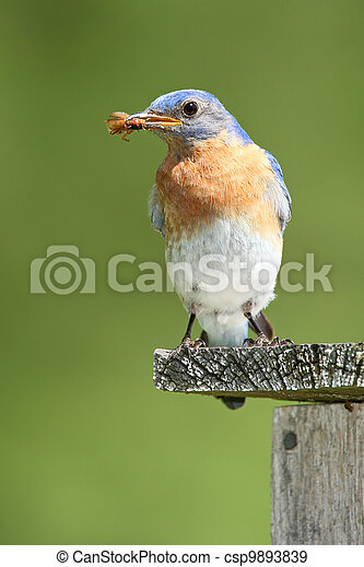 Un pájaro azul masculino con escarabajo - csp9893839
