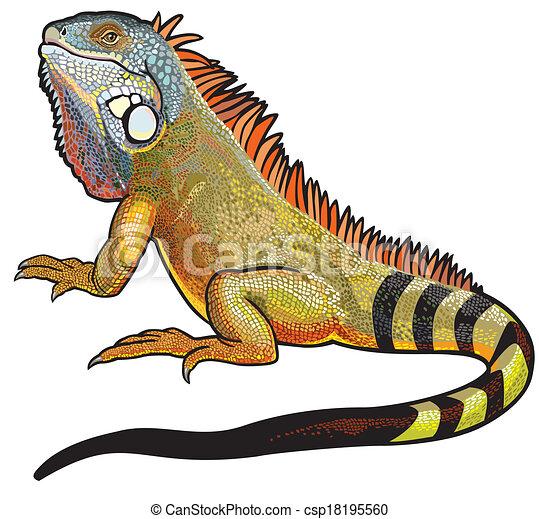 macho, iguana verde - csp18195560