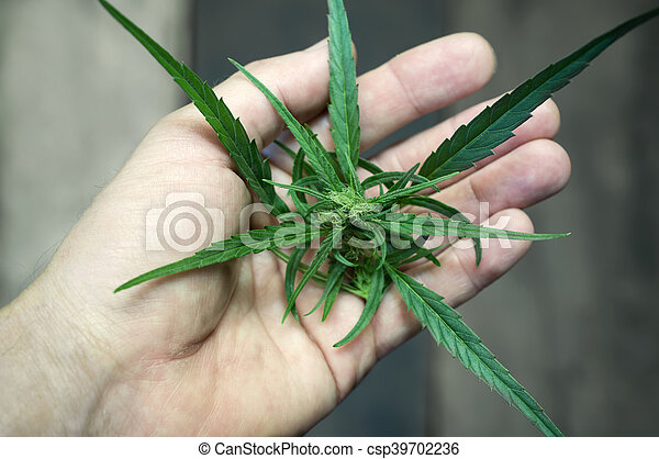 macho, marijuana, mão - csp39702236