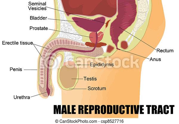 macho, sistema, reproductor - csp8527716