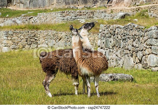 machu, peruwiański, lamy, cuzco, andy, peru, picchu, gruzy - csp24747222