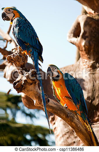 Macow parrots - csp11386486