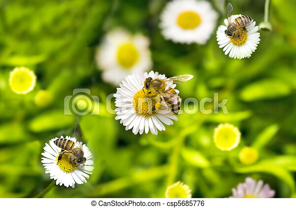 macro bee on camomile  - csp5685776