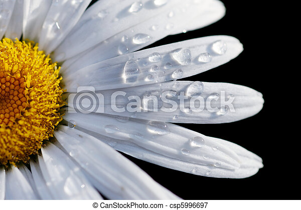 Macro close-up of a daisy flower isolated on black. Shallow DOF, focus on water drops. - csp5996697