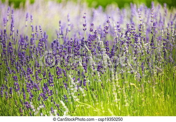 macro, fleurs, champ lavande - csp19350250