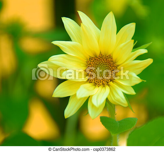 macro, gele, madeliefje - csp0373862
