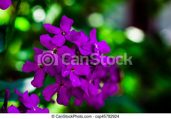 Macro image of spring lilac violet flowers, purple flowers in wild nature, spring-summer concept, flowers concept, spring garden, spring flowers - csp45782924