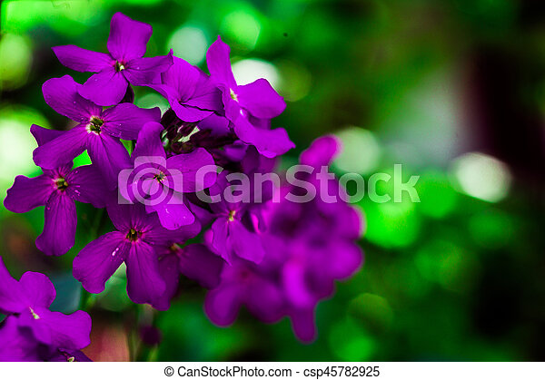 Macro image of spring lilac violet flowers, purple flowers in wild nature, spring-summer concept, flowers concept, spring garden, spring flowers - csp45782925