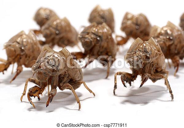 Macro of a group of larval cicada shed exoskeleton on white - csp7771911
