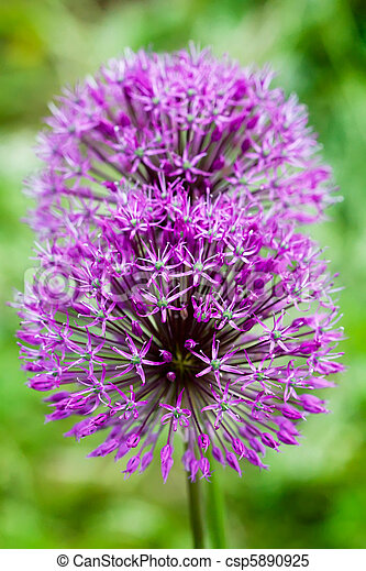 Macro of lilac flower of onion - csp5890925