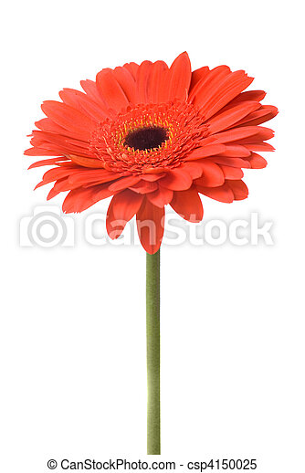 Macro of red daisy-gerbera head isolated on white - csp4150025