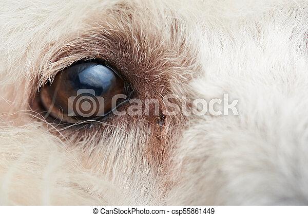 infección de diente de perro ojo