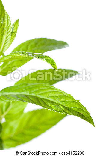 macro photo of green mint isolated on white - csp4152200