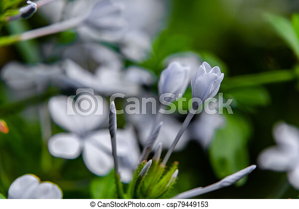 macro shot of blue jasmine flower blooming against blurred bright background. natural concept - csp79449153