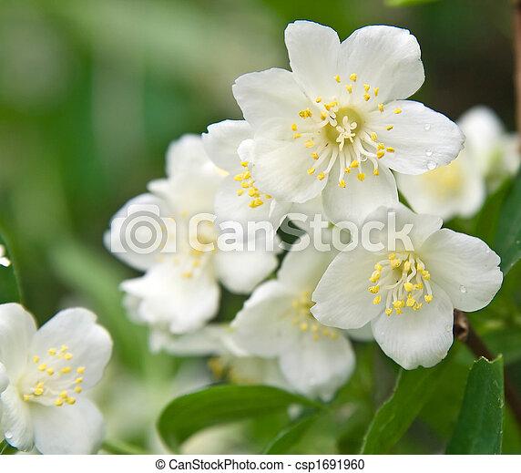 Macro shot of jasmine flower with dew drops - csp1691960