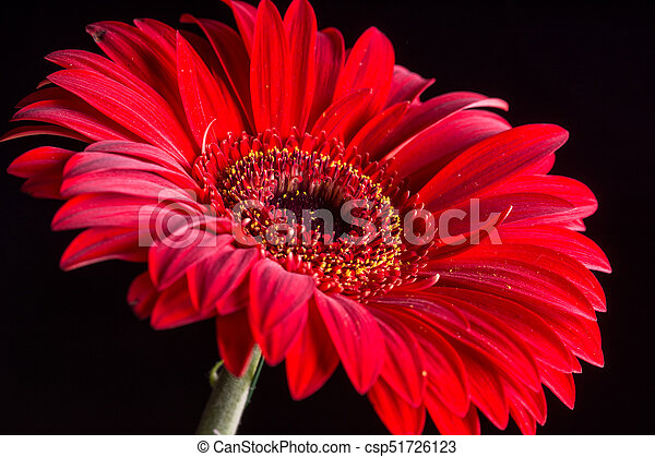 macro, sopra, closeup, fondo, nero, gerbera, rosso - csp51726123