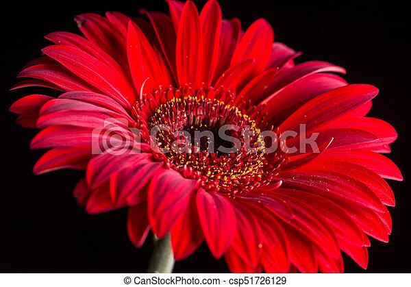 macro, sopra, closeup, fondo, nero, gerbera, rosso - csp51726129