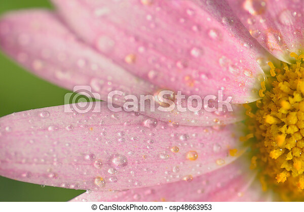 Macro Texture Of Pink Colored Daisy Flowers With Water Droplets In