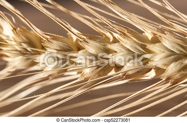 macro, trigo, orelhas - csp52273081