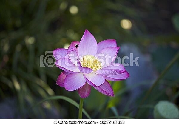 Macro Zen Lotus Flower With Bee