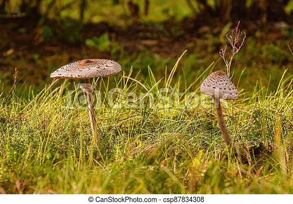 Macrolepiota procera, the parasol mushroom - csp87834308