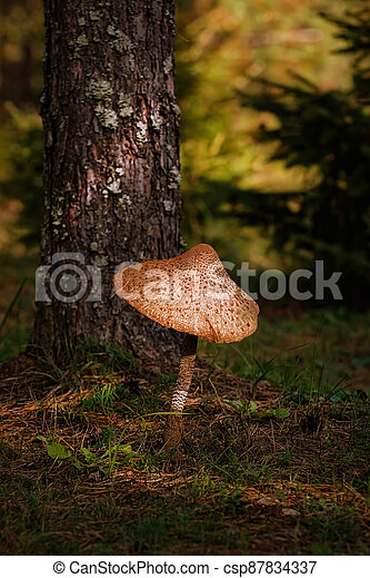 Macrolepiota procera, the parasol mushroom - csp87834337