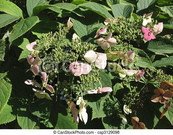macrophylla, hortensia - csp3129098