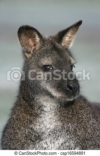 macropus, red-necked, wallaby, rufogriseus - csp16594891