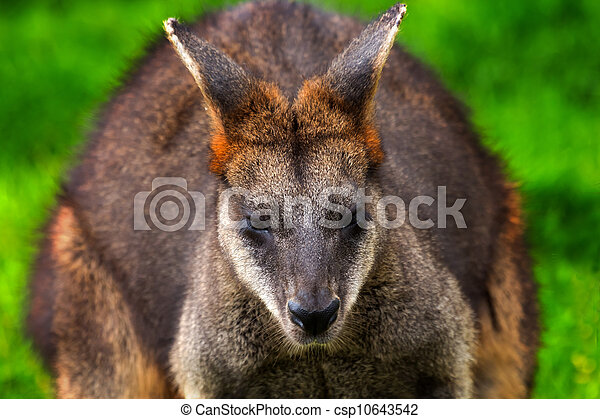 macropus, wallaby, agilus - csp10643542