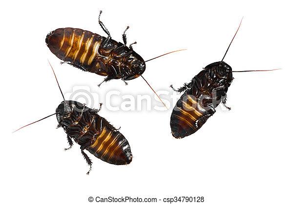 Madigasgar hissing cock roaches — photo 8