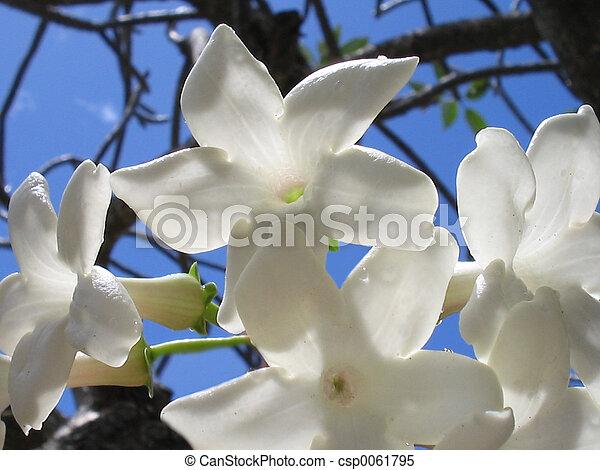 Madagascar Jasmine - csp0061795