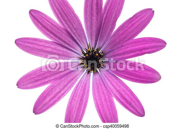 madeliefje, kaap, bloem, of, osteospermum - csp40059498