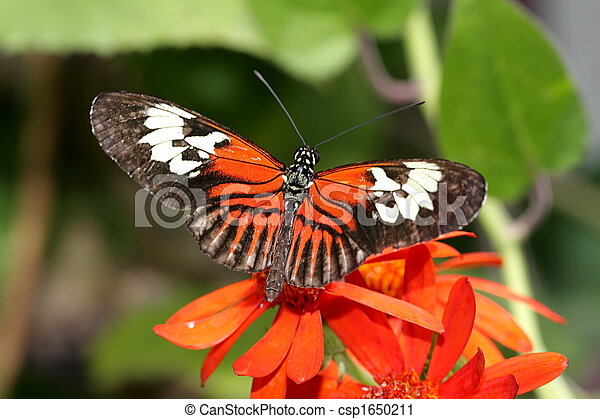 Maderia Butterfly - csp1650211